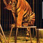 Anii trec, dresajul Tigrilor continuă!